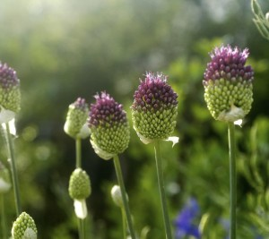 alliums, purple tip