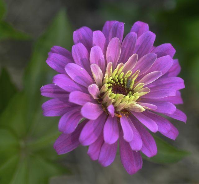 flower zinnia pink