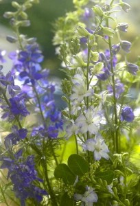 larkspur multi lighter