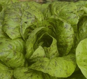 lettuce, forellenschluss