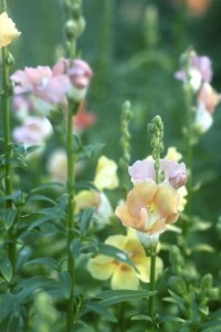 snapdragons multi