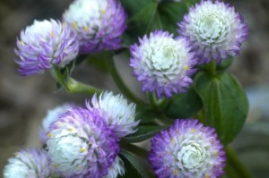 gomphrena pink bi-color detail
