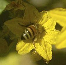 bee pollinating cuke flower 2 detail