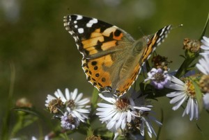 butterfly & purple asters
