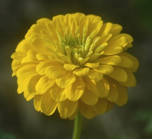 zinnia, yellow