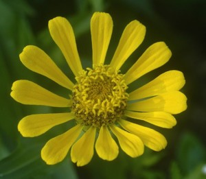 zinnia, yellow w pollen ring