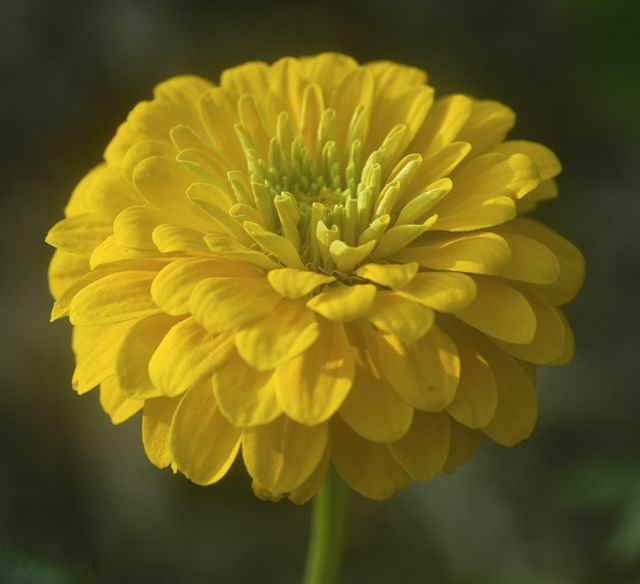 Zinnia power commonwealth now grows over 25 varieties of flowers with bouquets and bulk flowers available for purchase more details on our slow flowers webpage mightylinksfo Choice Image